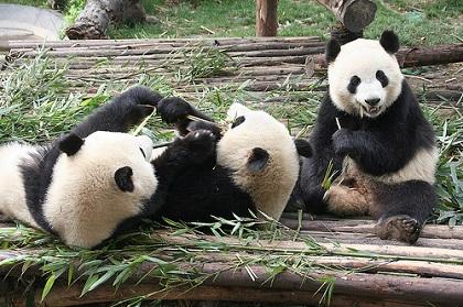 台北動物園パンダ
