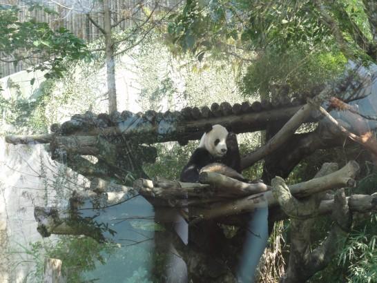 台北市動物園 パンダ