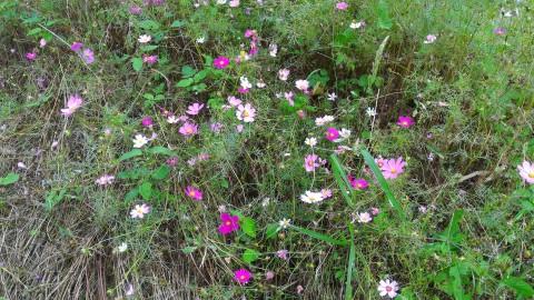 樟樹歩道沿いに咲くコスモス?