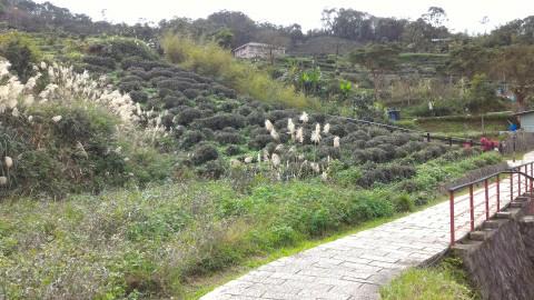 樟樹歩道沿いの茶畑