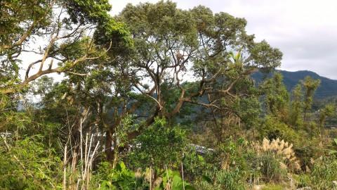 猫空 樟樹