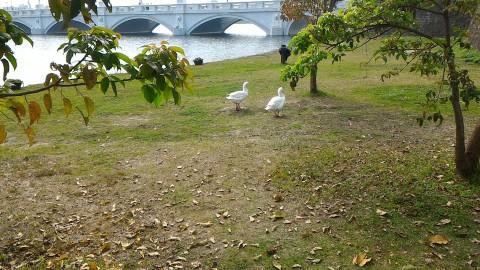アヒル2羽とオリンポス橋