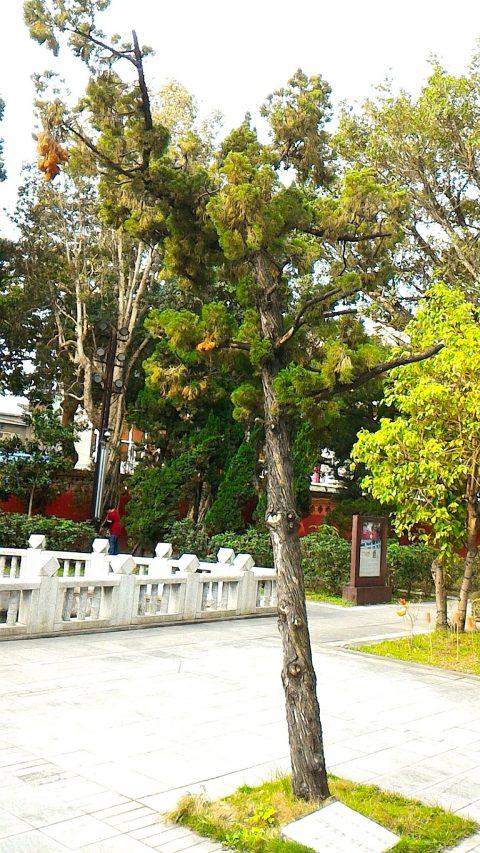 植樹と泮池