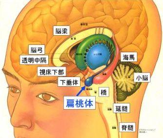 扁桃体と延髄