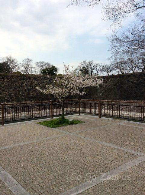 南外濠東側の桜