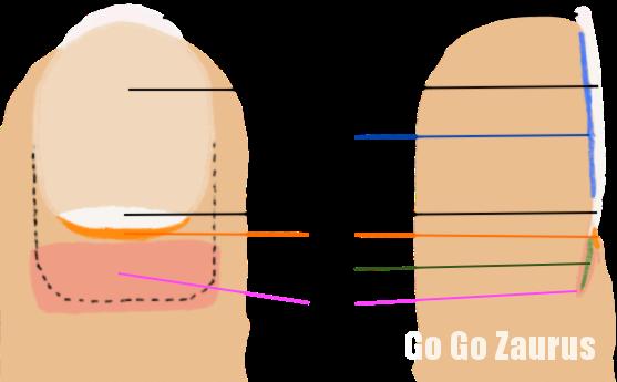 爪の各部名称